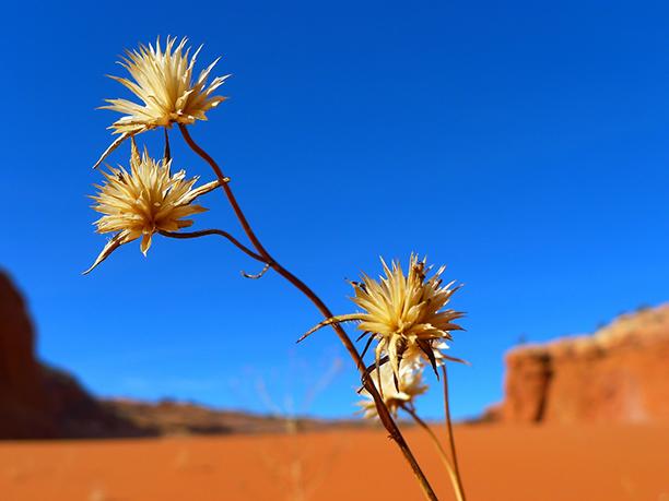 Desert Flower - Gratitude